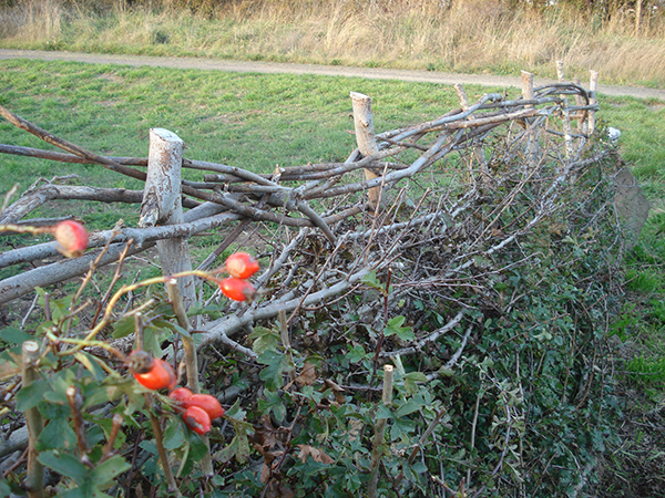 Kate weaves prickly hawthorn hedges into neat hedge-rows of old.