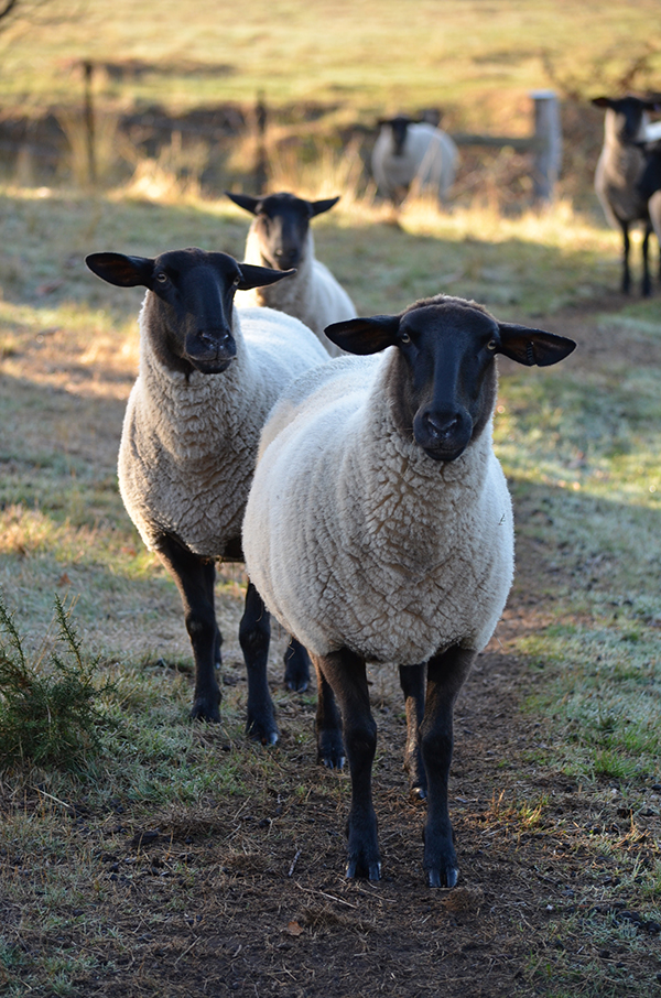 We adore our black-faced suffolks! Photo/Production - Danielle White/The Countryphiles.